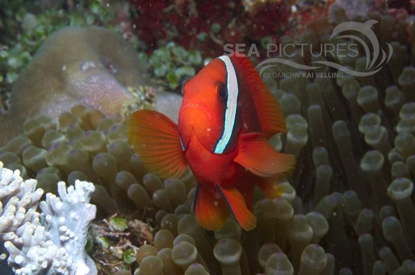 KV Amphiprion melanopus PH 08 11378