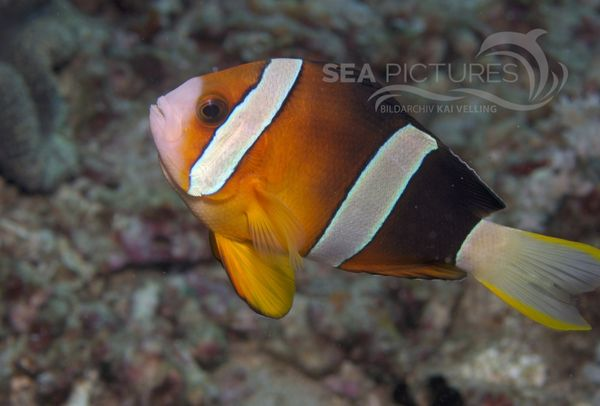 KV Amphiprion clarkii PH 08 02537