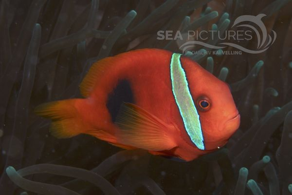 Amphiprion sp