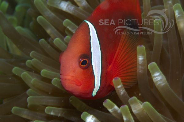 KV Amphiprion melanopus PH 08 12772