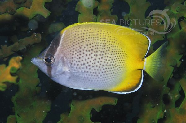 Chaetodon guentheri